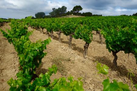 Etat des vignes fin Juin: Quel Millésime 2016?